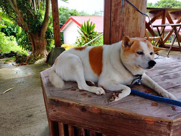 AZUL CAFE(与論島ビレッジ)のアイドル犬マゴ