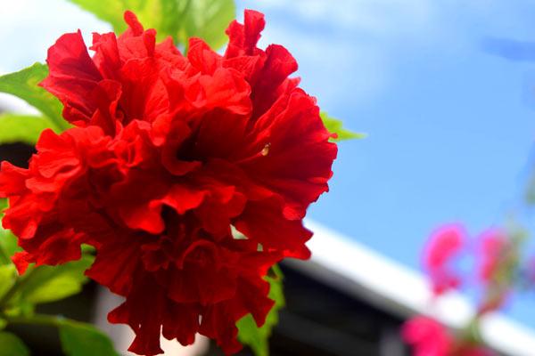 ビーチランドロッジの庭に咲いているハイビスカス